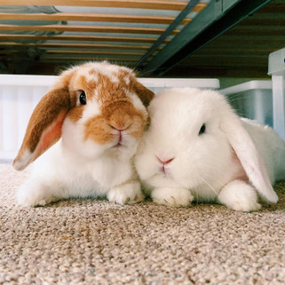 How To Bond Two Rabbits