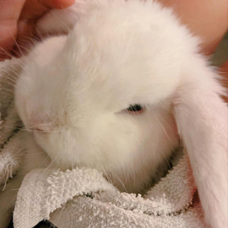 The Complete Guide to Neutering your Rabbit