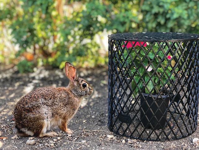 RA Rabbit.jpg