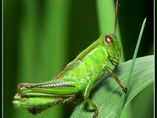 """The """"Grasshopper"""" complex"""