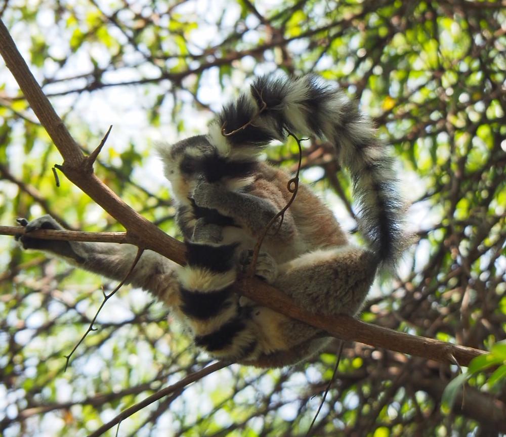 4x4 Adventure Madagascar Ringtailed Lemur