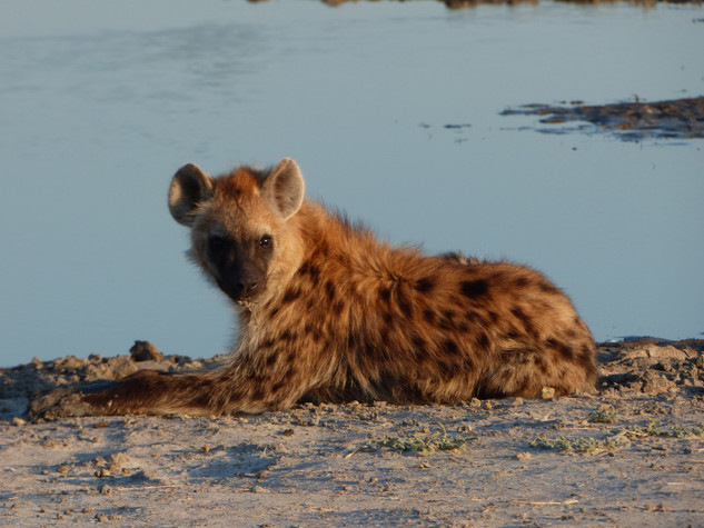 2019 30 Apr -Botswana-Moremi -Third Bridge (8) Spotted Hyena