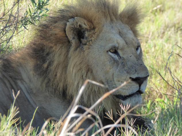 2019 May 1 -Botswana-Moremi -Third Bridge (105) 2X Lions