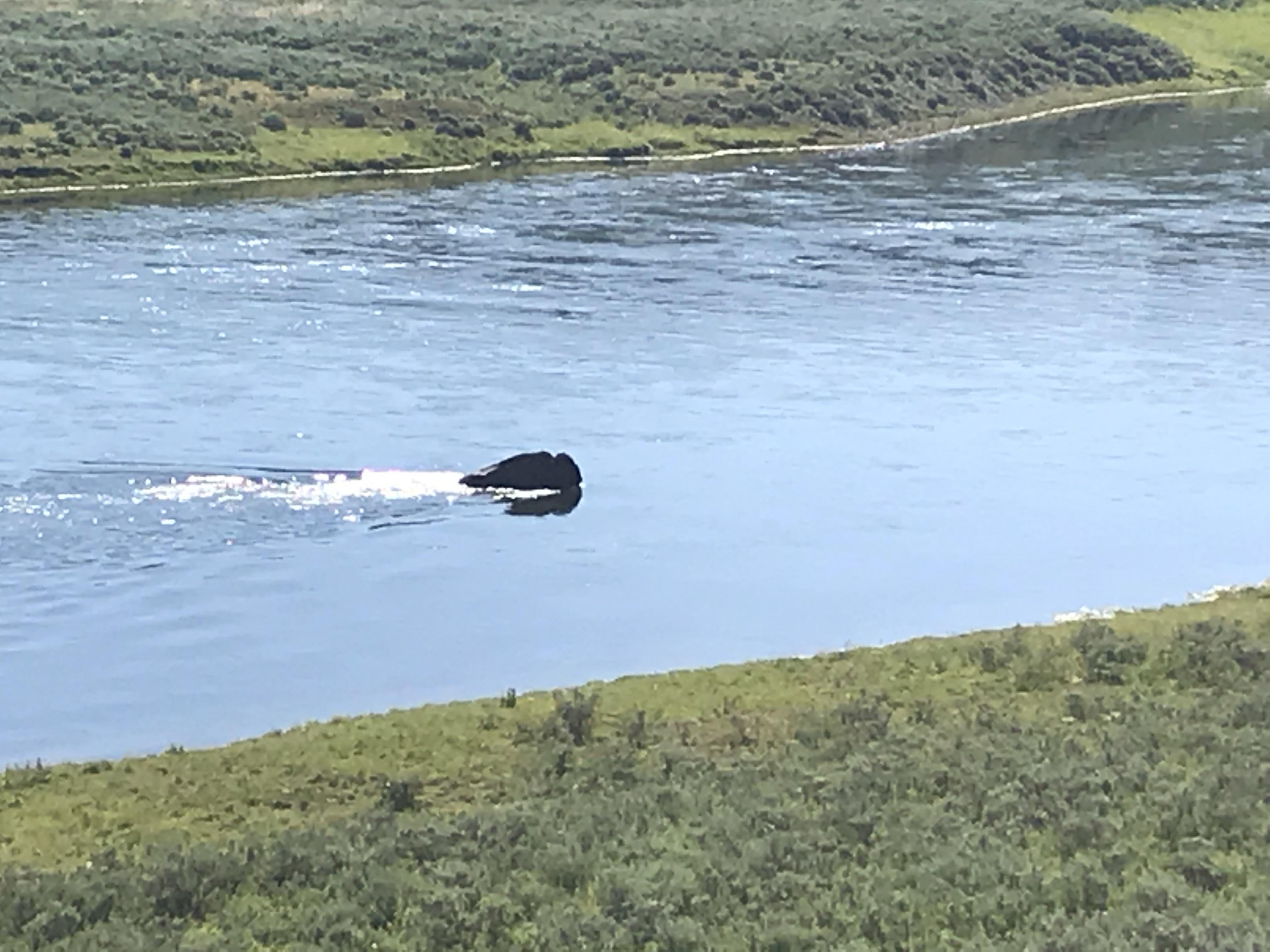 Schwimmender Bison