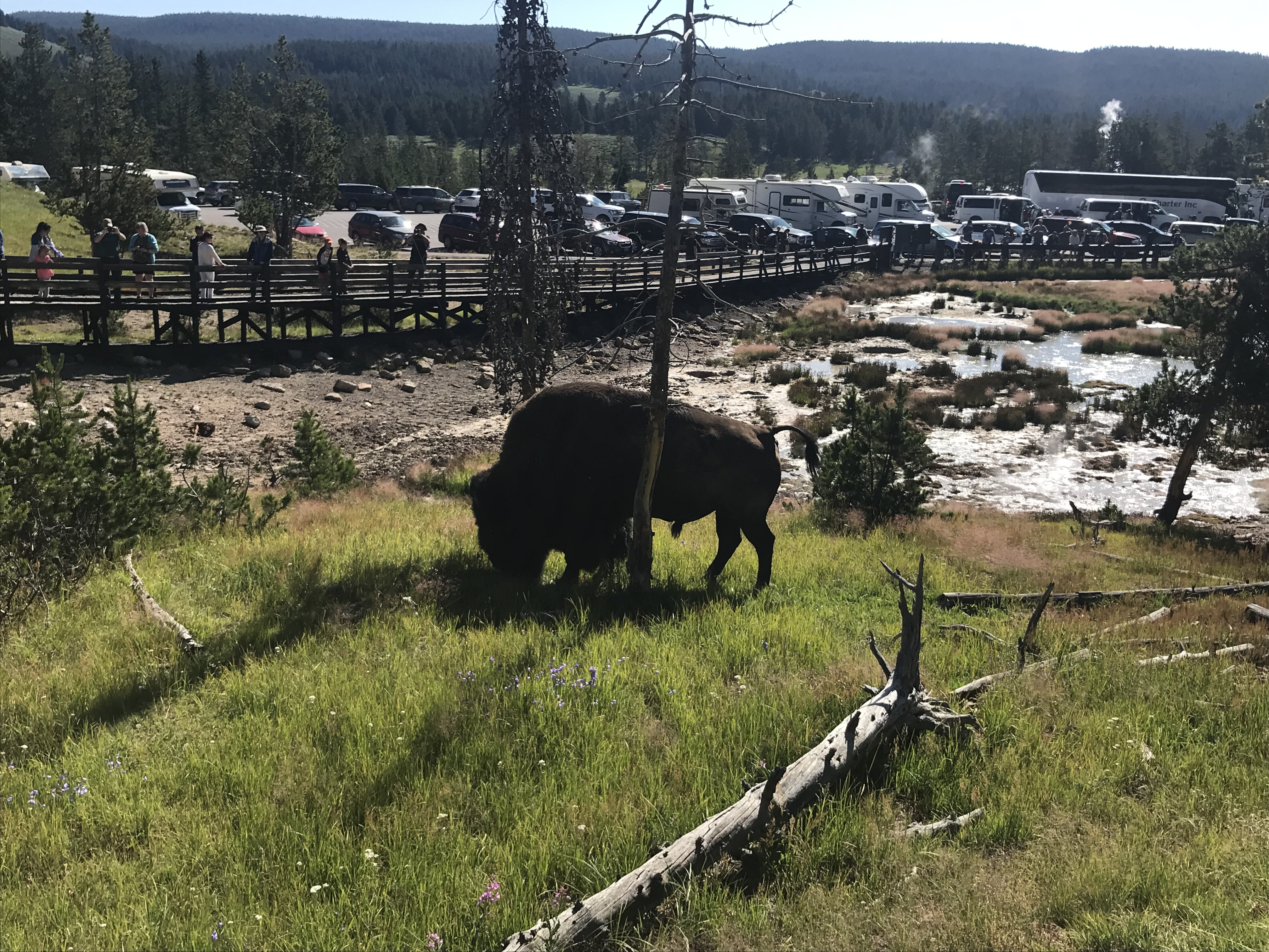 Bison im Yellowstone Park