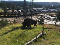 Bison im Yellowstone Park