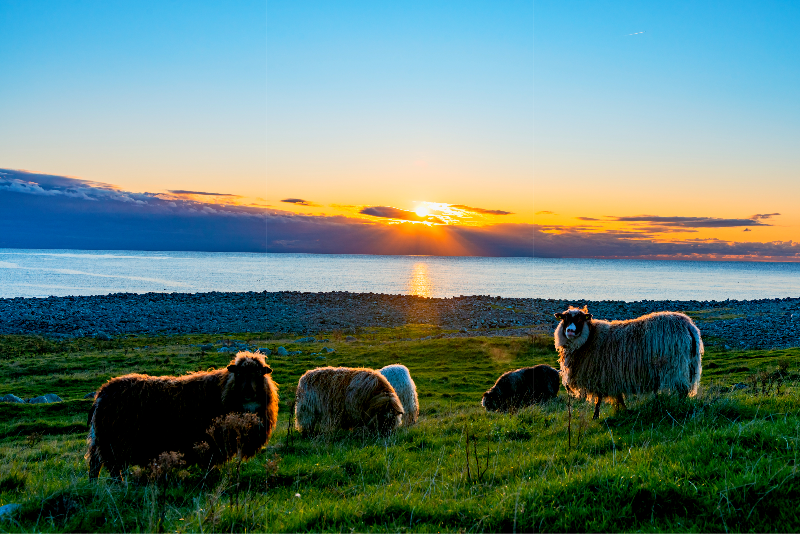 Thick coated sheeps during sunset in Jæren - Southern Norway