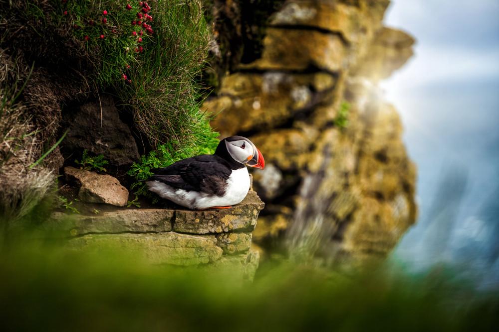 Frailecillo del atlántico descansando en un acantilado, Islandia - Un viaje por Islandia: Lista de lugares imprescindibles