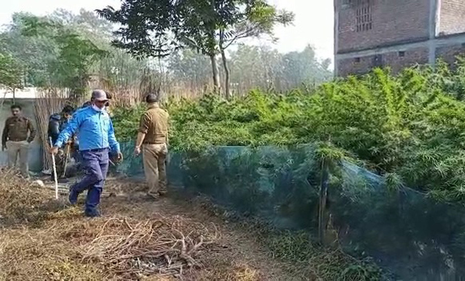 Baishnabnagar police destroyed cannabis cultivation