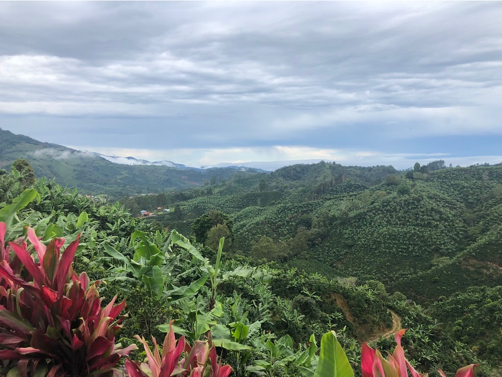 The mountainous region of San Marcos on a cloudy day with lush green coffee and banana plants covering the hills and red bushes planted in straight lights to show the property lines of local farmers.