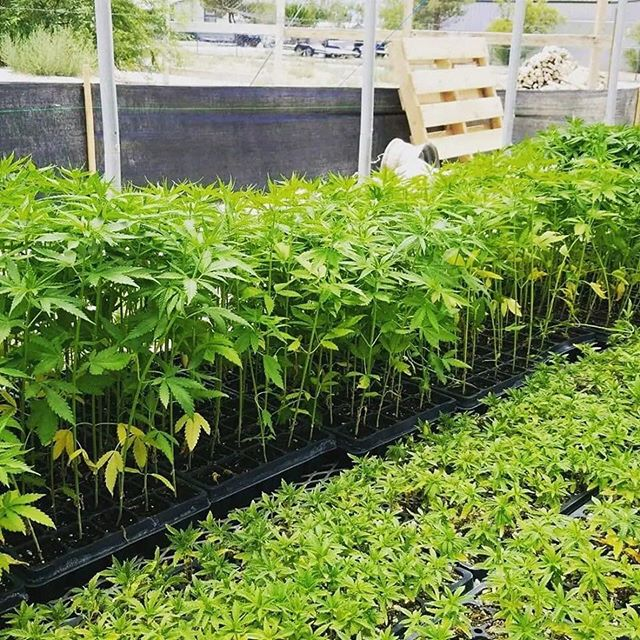 These are hemp plants