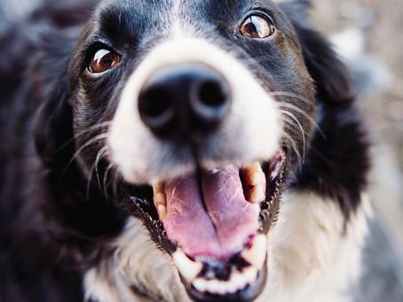 The Dangers of Pet Plaque