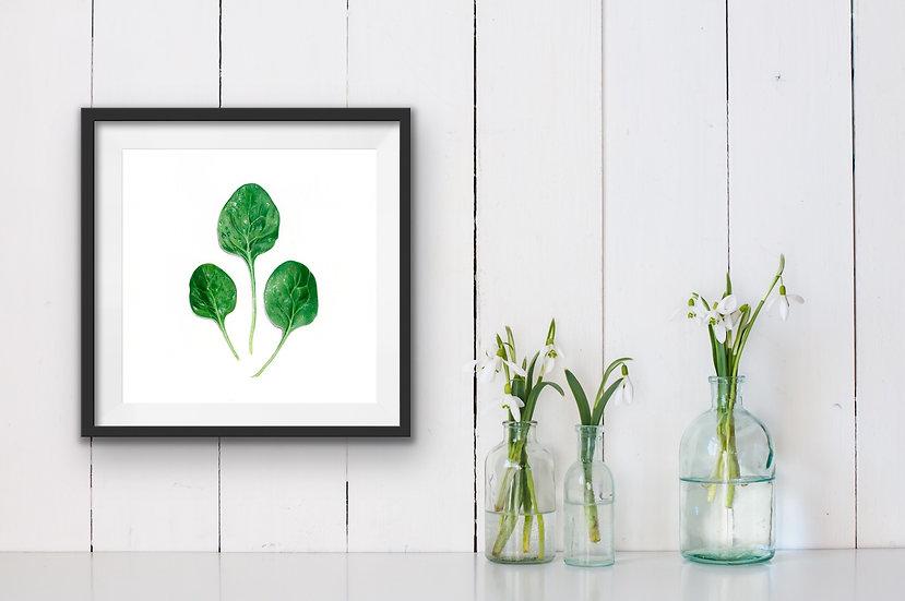 Spinacia Oleracea {Spinach}