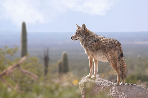 """Cool photograph of coyote overlooking the desert in Saguaro National Park, Arizona. Art from the """"Land Animals"""" photo collect"""