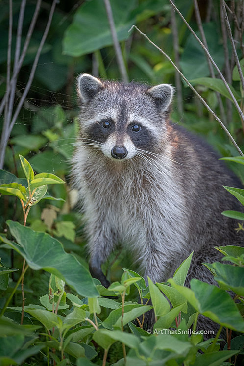 A cute photograph of a skittish looking raccoonat Largo Central Park Nature Preserve in Largo, Florida.