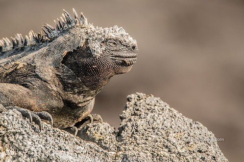 "Photograph of a marine iguana in the Galapagos Islands. Art from the ""Aquatic Animals"" and ""Land Animals"" photo collection."
