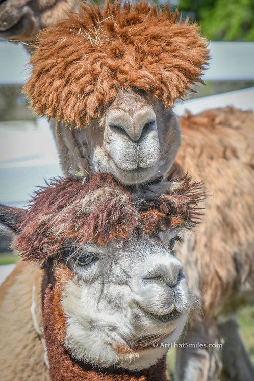 "Photograph of alpacas at the Golden Spirit Alpaca Ranch in Odessa, Florida. Art from the ""Land Animals"" photo collection."