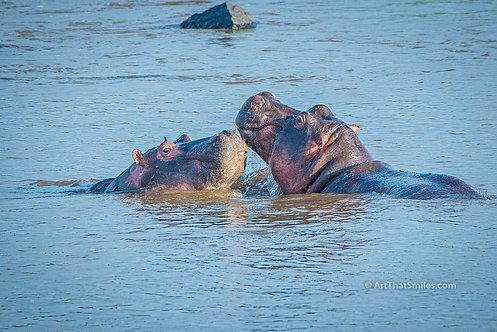 RECEPTION - Cute photograph of hippopotami along the Mara River in the Masai Mara National Reserve.