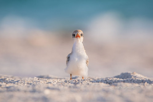 Photograph of a baby least tern on Bradenton Beach, Florida.