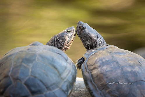 POND ROMANCE - Cute photograph of two affectionate turtles at McGough Nature Park in Largo, Florida.