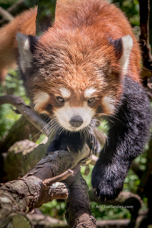 "Red Panda at Pittsburgh Zoo. Art from the ""Land Animals"" photo collection."