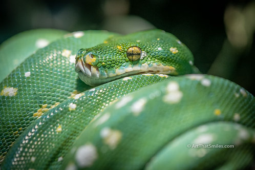Photograph of green tree python at Detroit Zoo.