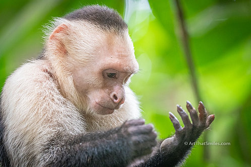 """Photograph of a white-faced Capuchin monkey in Manuel Antonio National Park, Costa Rica. Art from the """"Land Animals"""" photo.."""
