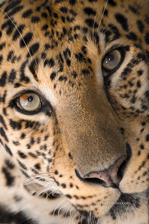 """Photograph of an African leopard. Art from the """"Land Animals"""" photo collection."""