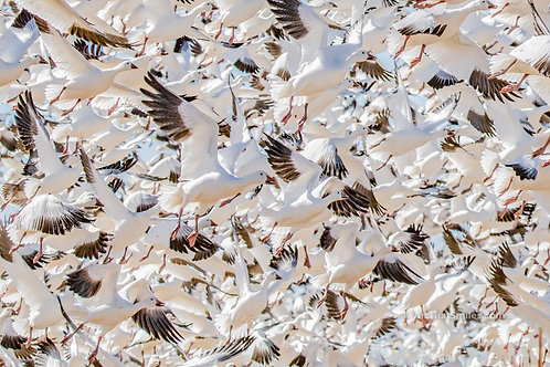 Thousands of snow geese in flight at Bosque Del Apache National Wildlife Refuge in San Antonio, New Mexico.
