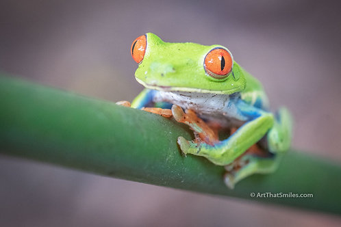 RIBBETING - cute photograph of red-eye tree frog near Sarapiqui Costa Rica.