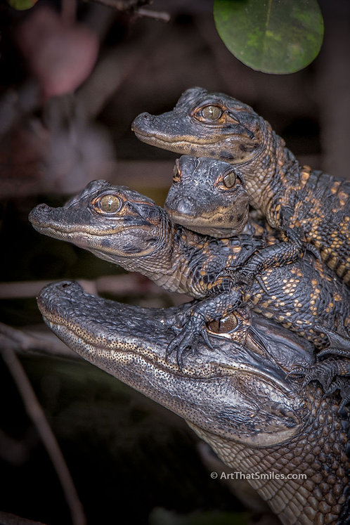 Cute and funny photo of baby alligators in Shark Valley, the Florida Everglades.