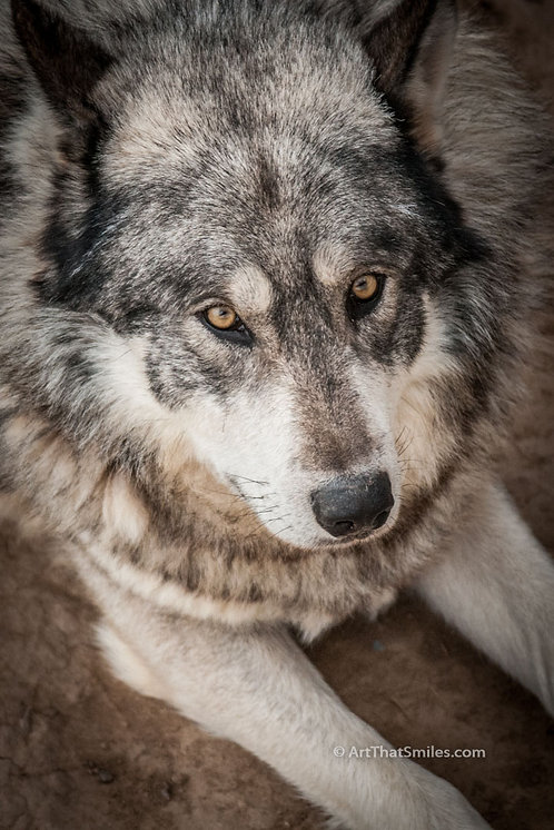 Photograph ofwolf at wolf rescue in Colorado.