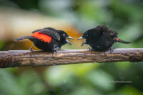 Scarlet-rumped Tanagers squable in the rain on Bogarin Trail in La Fortuna, Costa Rica.