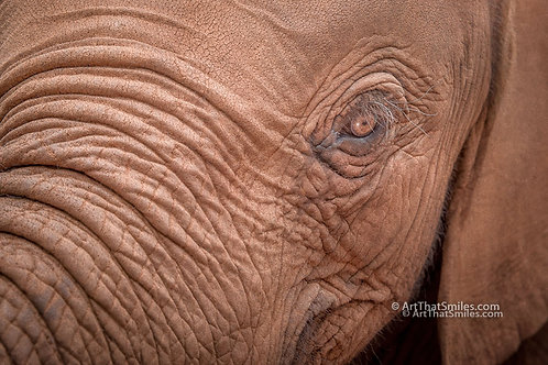 "Beautiful photograph of an elephant in Kenya.  Art from the ""Land Animals"" photo collection."