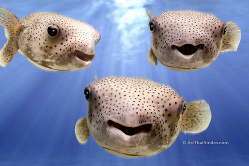 LITTLE PUFFS - Funny montage of a few photographs of porcupine pufferfish.