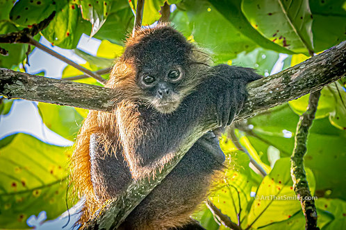 """Photograph of a photogenic juvenile male spider monkey in Tortuguero National Park, Costa Rica. Art from the """"Land Animals"""""""