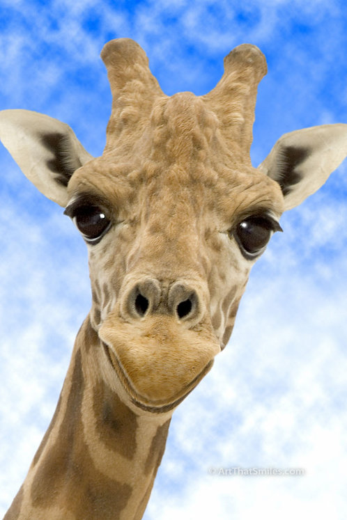 "Photograph of an animated giraffe face exaggerated with photoshop. Art from the ""Land Animals"" photo collection."