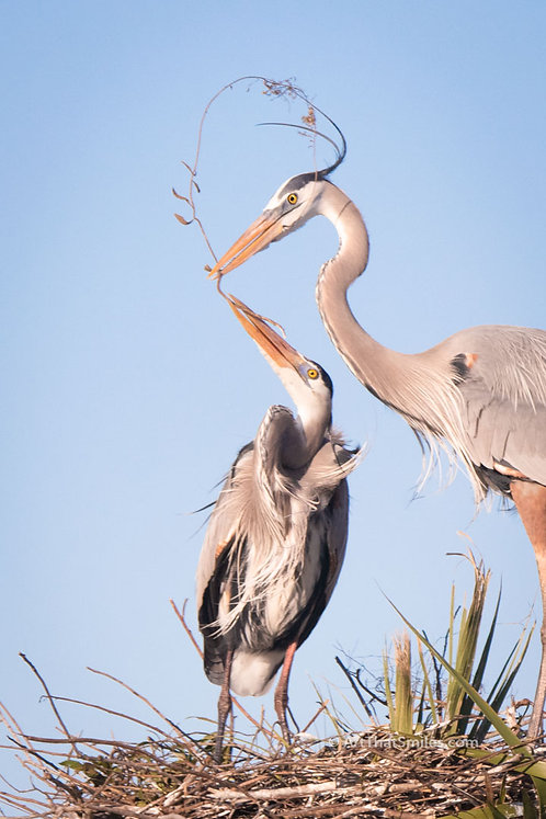Photograph ofgreat blue herons building their nest at Viera Wetlands in Viera, Florida.