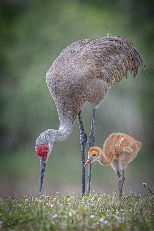 Sandhill crane baby colt with parent eating at Burton Smith Regional Park in Cocoa, Florida.