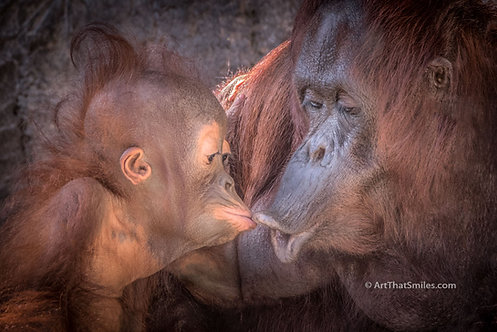 "Mother and baby orangutan at Lowry Park Zoo, Tampa. Art from the ""Land Animals"" photo collection."