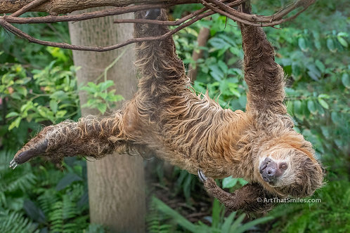 "Fun photograph of two-toed sloth hanging out. Art from the ""Land Animals"" photo collection."