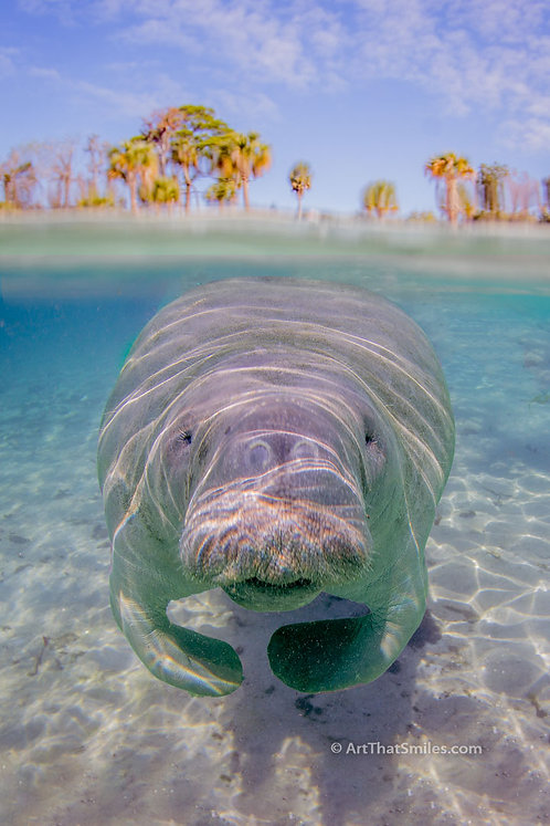 GREETINGS -  Cool over-under photo of manatee near Hunter's Springs Park in Crystal River, Florida.