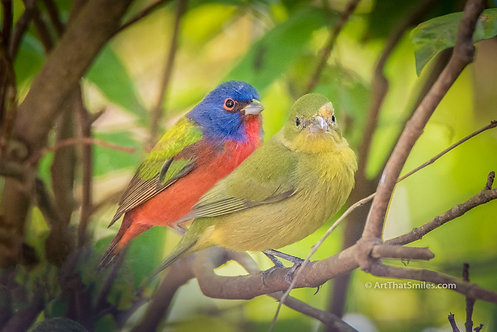 Photograph of male and female painted bunting at Merritt Island Wildlife Refuge, Florida.