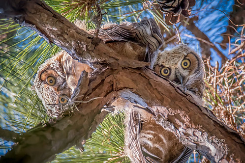 Photograph of baby great horned owls or owlets in the park behind where I live in Clearwater, FL.