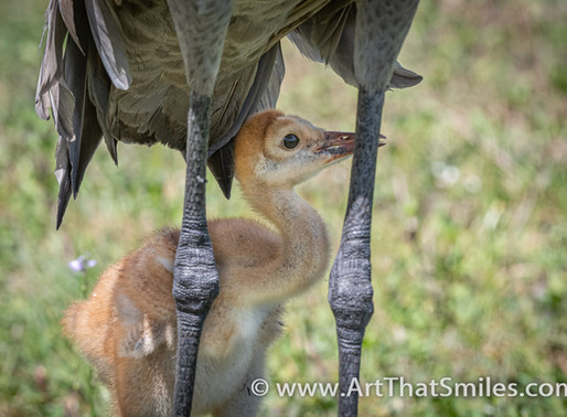 What is a baby Sandhill Crane called?