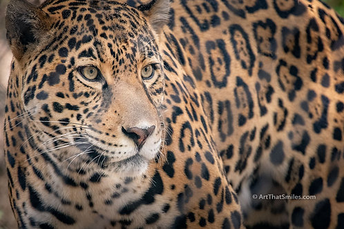 "A photograph of a jaguar with a cool attitude at a big cat rescue. Art from the ""Land Animals"" photo collection."