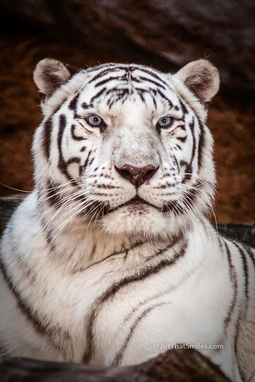 """Photograph of a white Bengal tiger at Lowry Park Zoo, in Tampa, FL. Art from the """"Land Animals"""" photo collection."""