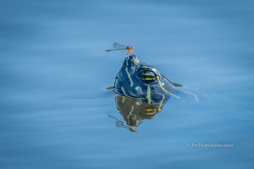 OPPOSITES ATTRACT - cute photograph of damselfly on a turtle at Largo Central Park Nature Preserve in Largo, Florida.