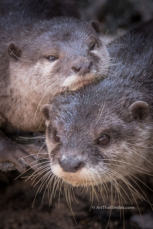SIGNIFICANT OTTER - cute photograph of two affectionate river otters.