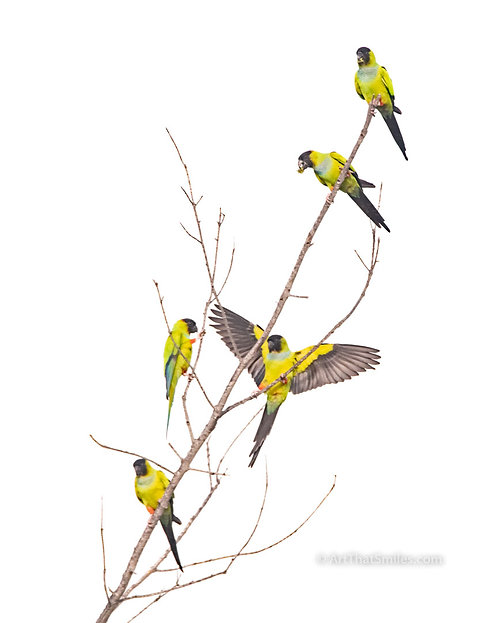 Photograph of wild nanday parakeets at Fort Desota County Park in Saint Petersburg, Florida.